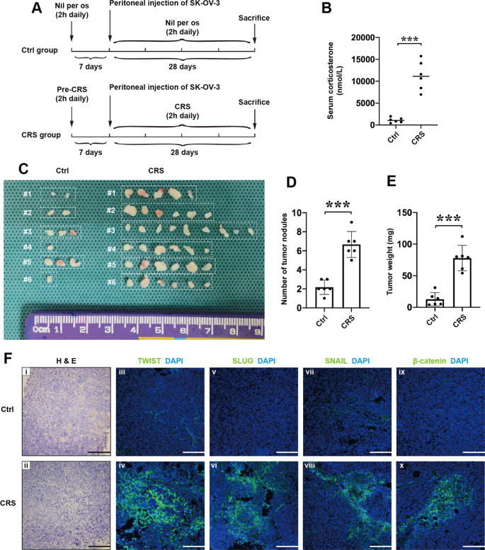 Melatonin Suppresses Chronic Restraint Stress Mediated Metastasis Of Epithelial Ovarian Cancer Via Ne Akt B Catenin Slug Axis Cell Death Disease