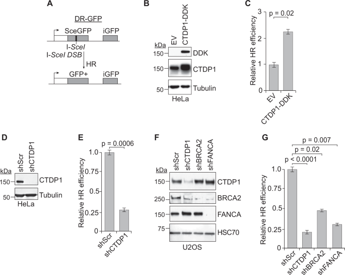 CTDP1 regulates breast cancer survival and DNA repair