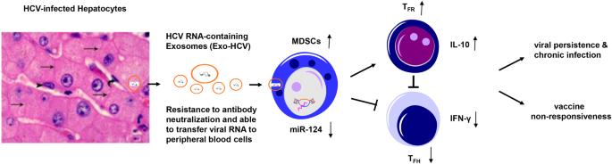 HCV-associated exosomes promote myeloid-derived suppressor