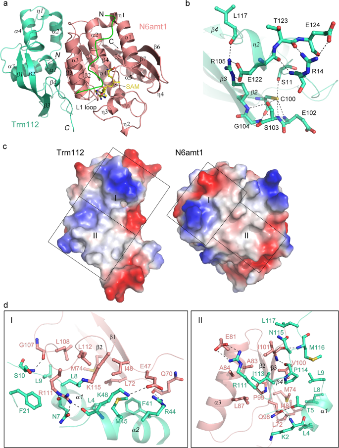 Structural insight into human N6amt1–Trm112 complex