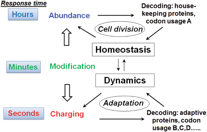 Modifications and functional genomics of human transfer RNA