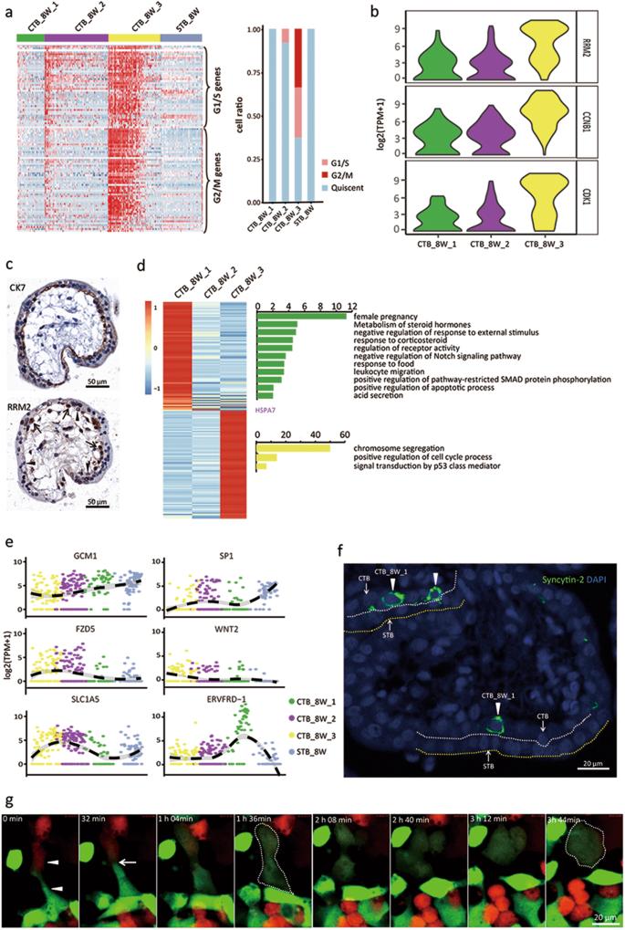 Single-cell RNA-seq reveals the diversity of trophoblast