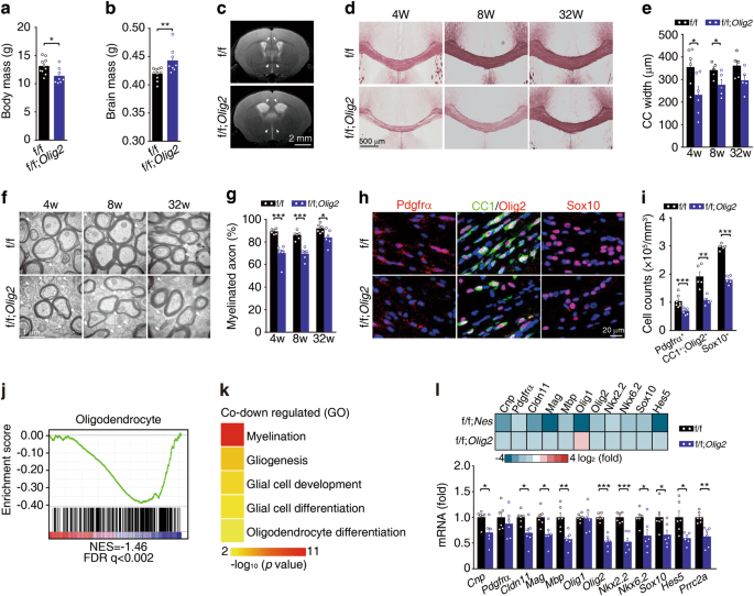 A novel m 6 A reader Prrc2a controls oligodendroglial