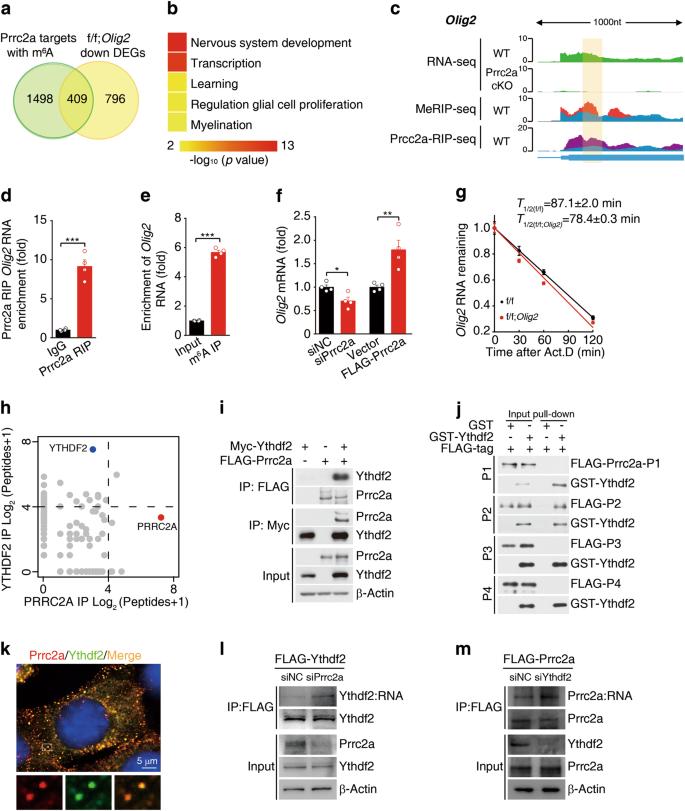 A novel m 6 A reader Prrc2a controls oligodendroglial