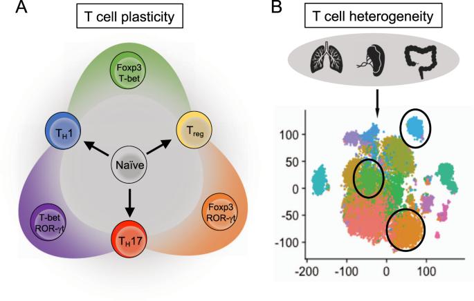 Helper T cell differentiation | Cellular & Molecular Immunology