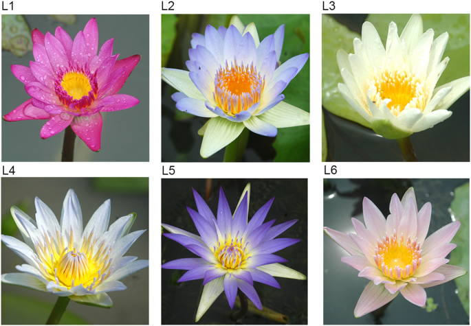 Molecular breeding of water lily: engineering cold stress