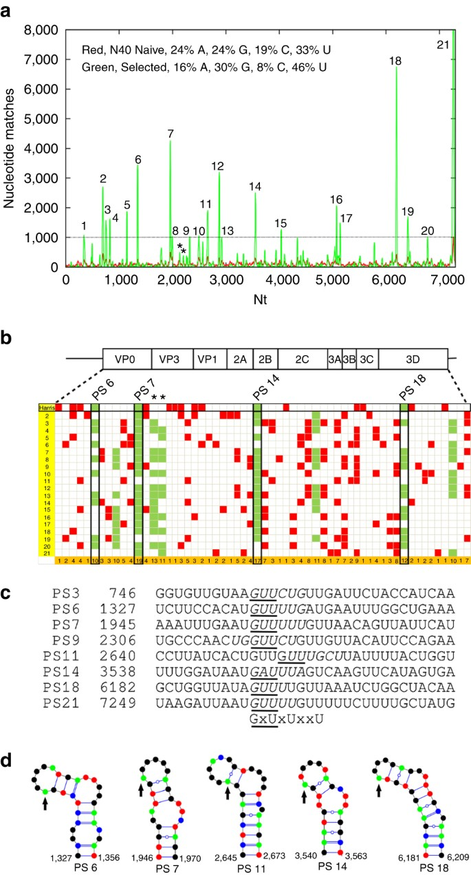 Genomic RNA folding mediates assembly of human parechovirus | Nature