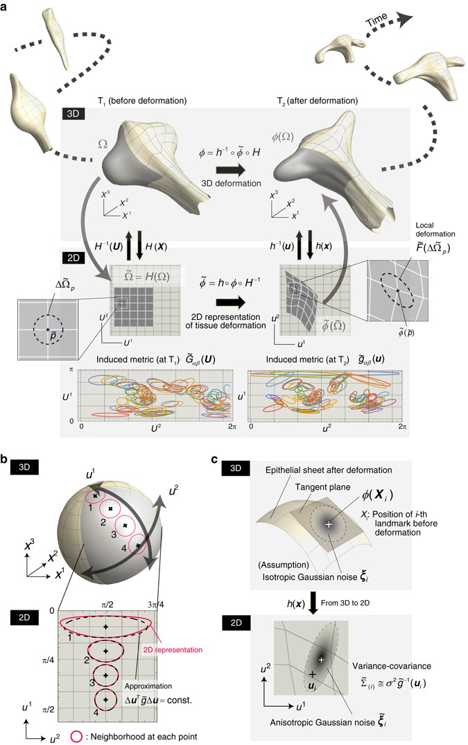 Reconstructing 3D deformation dynamics for curved epithelial