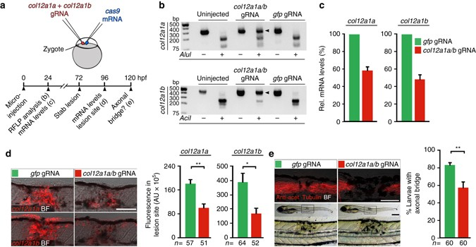 Wnt signaling controls pro-regenerative Collagen XII in functional