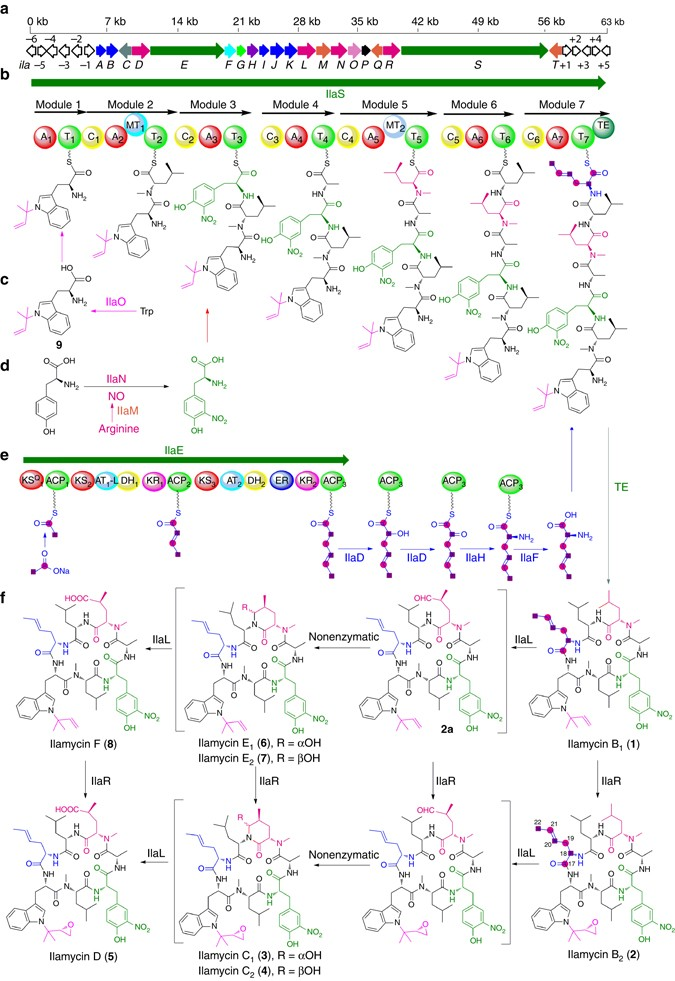 Biosynthesis of ilamycins featuring unusual building blocks and