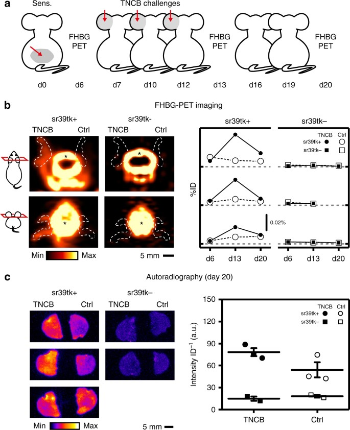 Cre/lox-assisted non-invasive in vivo tracking of specific cell