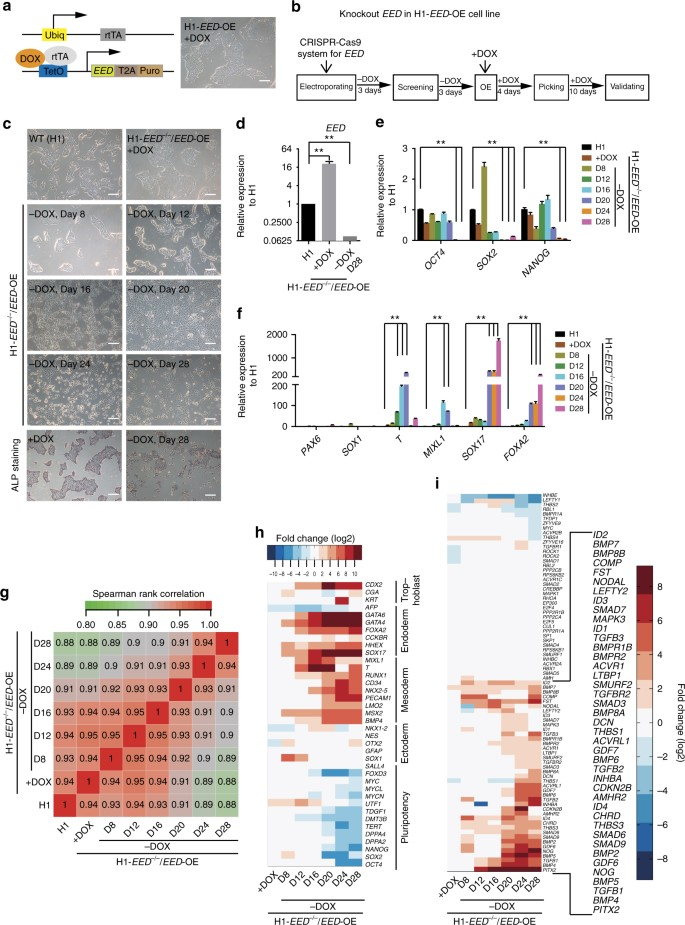 PRC2 specifies ectoderm lineages and maintains pluripotency