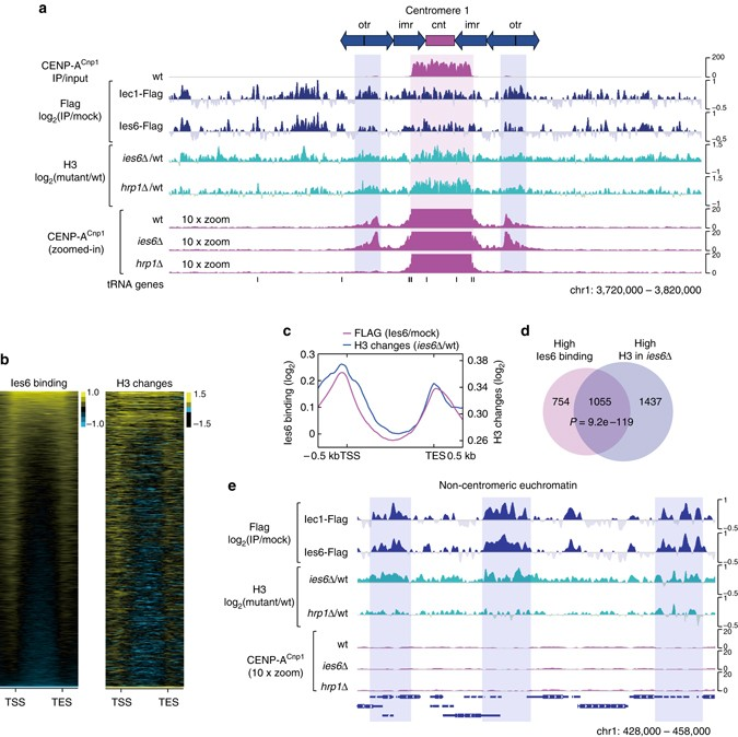 The Ino80 complex mediates epigenetic centromere propagation