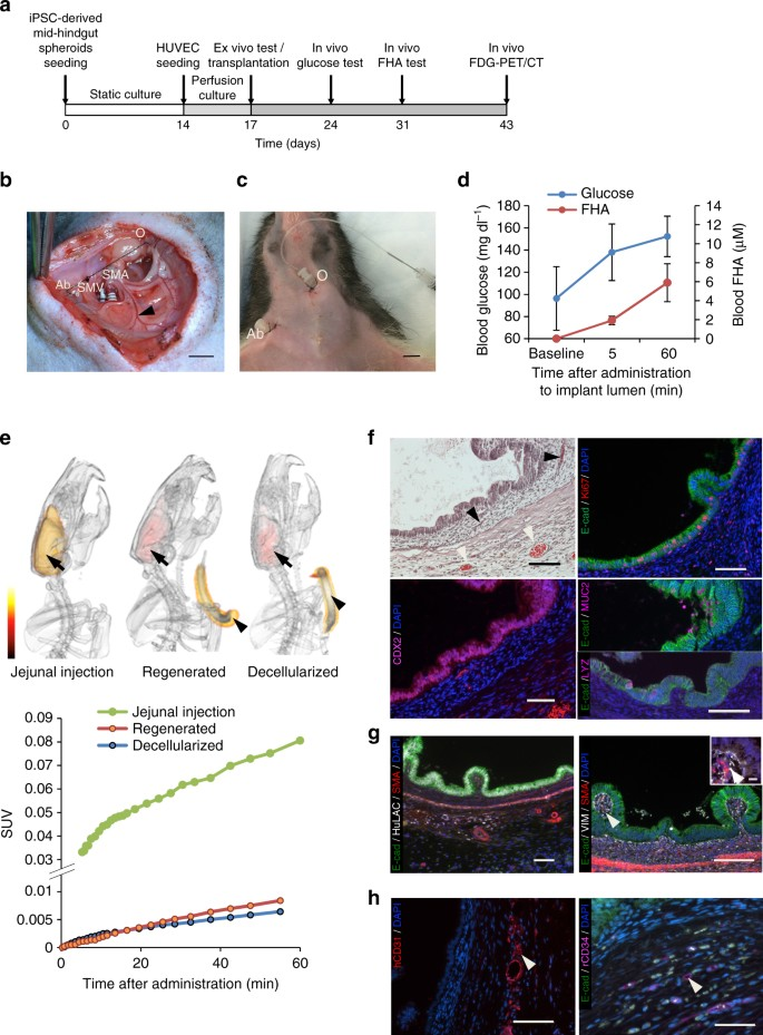 Bioengineering of functional human induced pluripotent stem cell