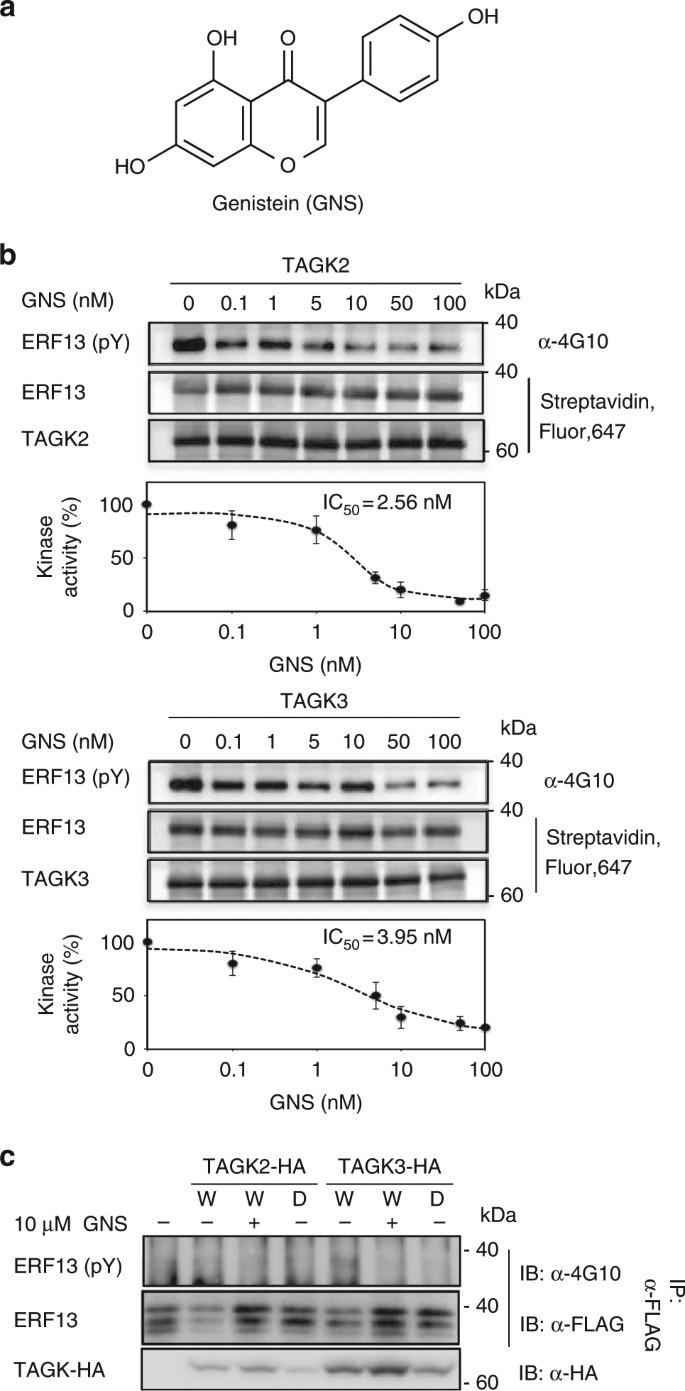 Tyrosine phosphorylation of the GARU E3 ubiquitin ligase promotes