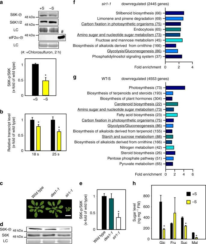 Sulfur availability regulates plant growth via glucose-TOR