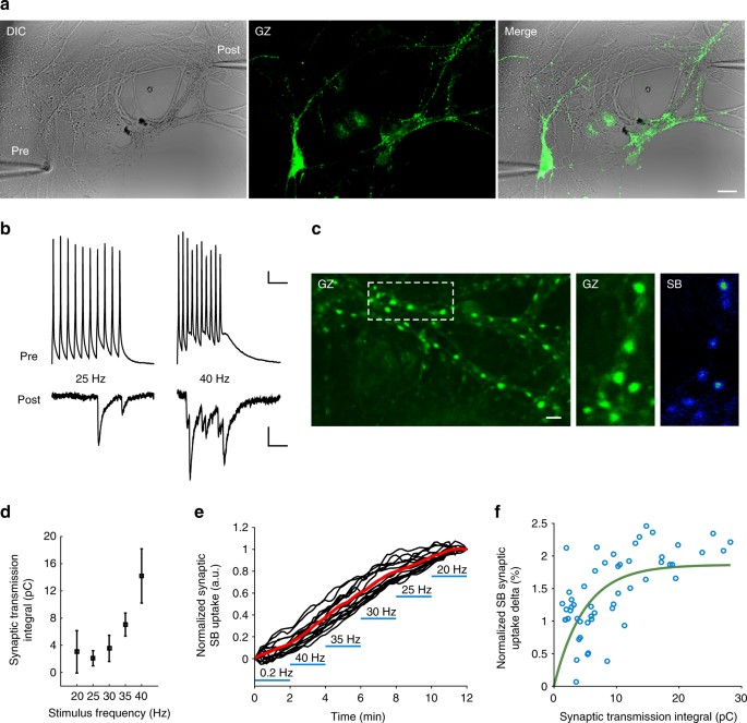 Functional mapping of brain synapses by the enriching