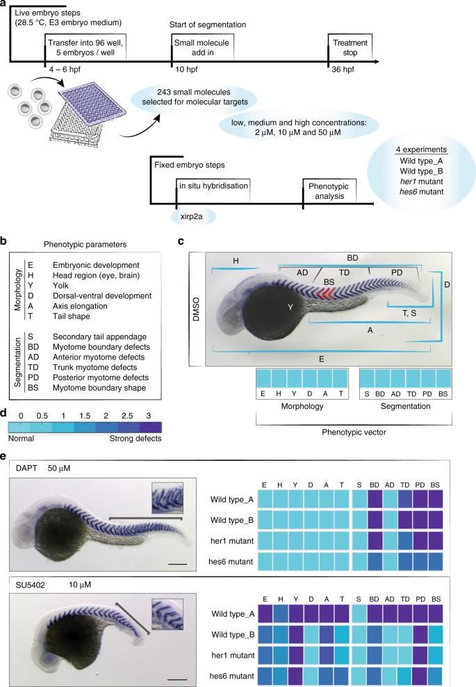 Small molecule screen in embryonic zebrafish using modular