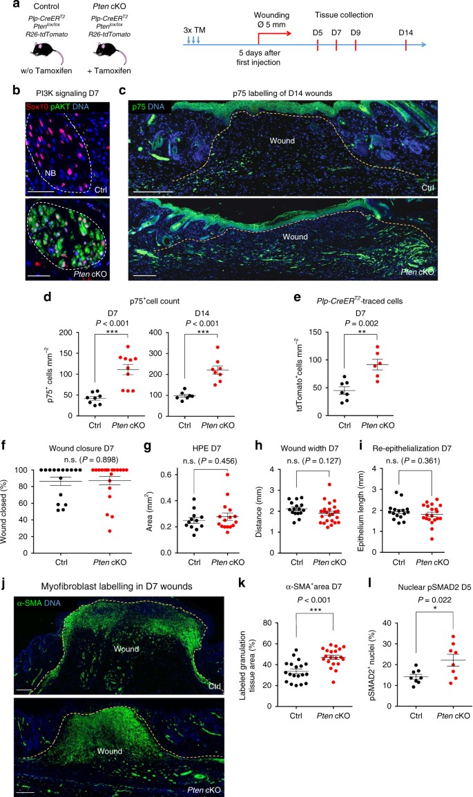 Injury-activated glial cells promote wound healing of the adult skin