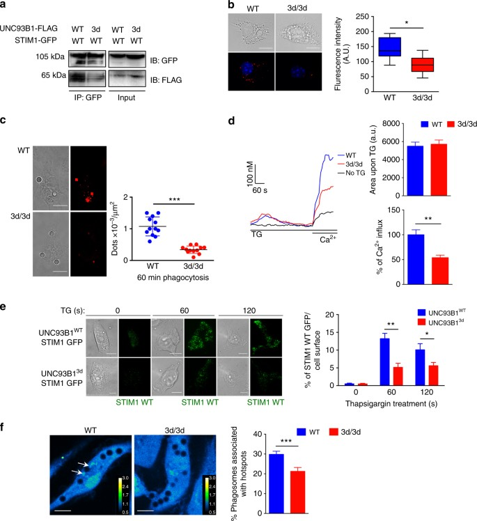 UNC93B1 interacts with the calcium sensor STIM1 for
