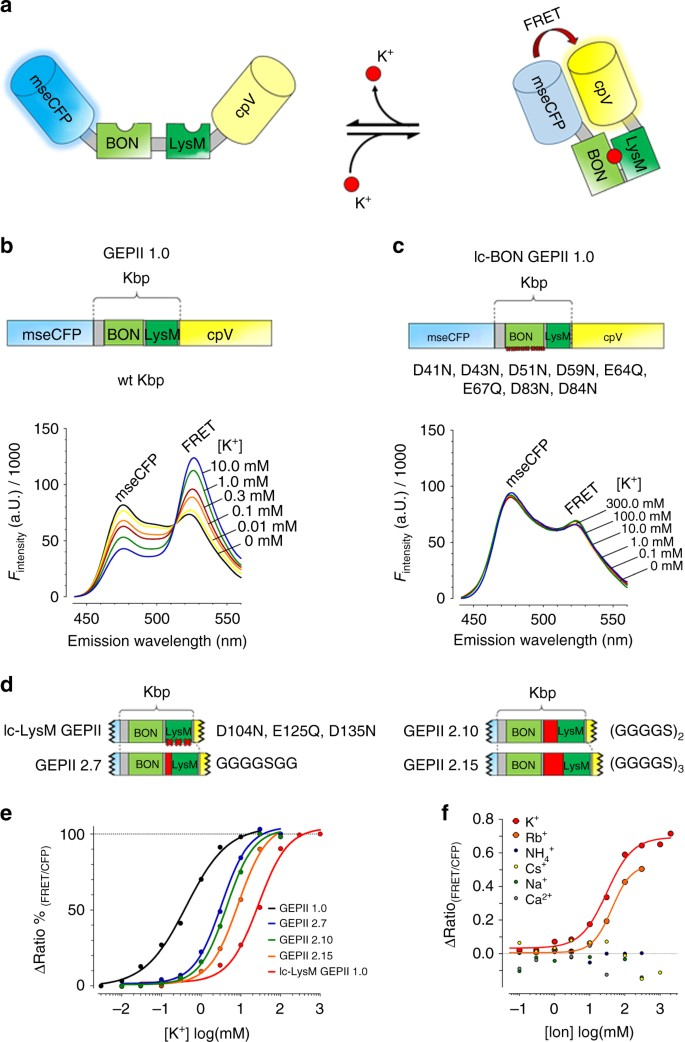 Novel genetically encoded fluorescent probes enable real-time