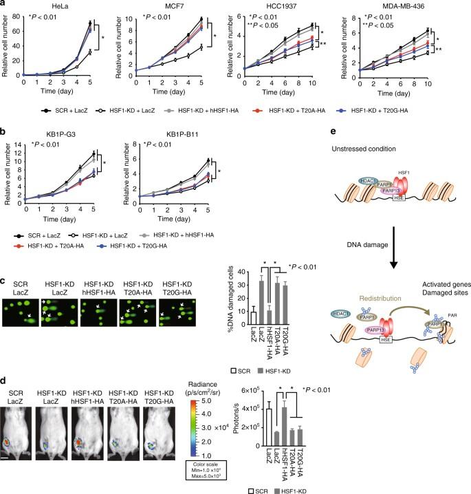 The HSF1–PARP13–PARP1 complex facilitates DNA repair and