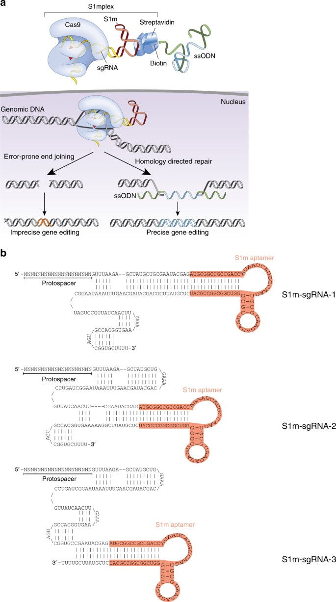 Assembly of CRISPR ribonucleoproteins with biotinylated