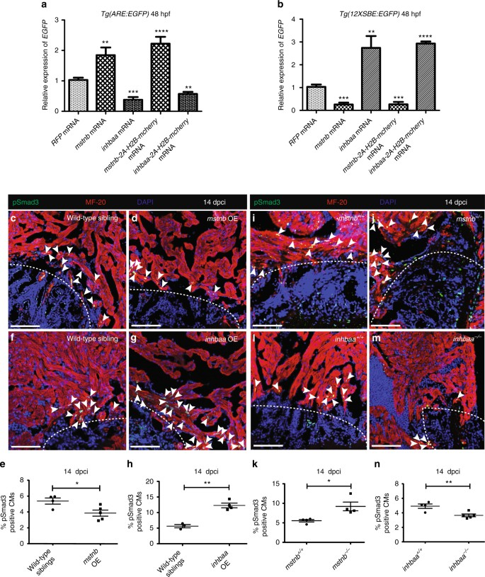 Opposite effects of Activin type 2 receptor ligands on