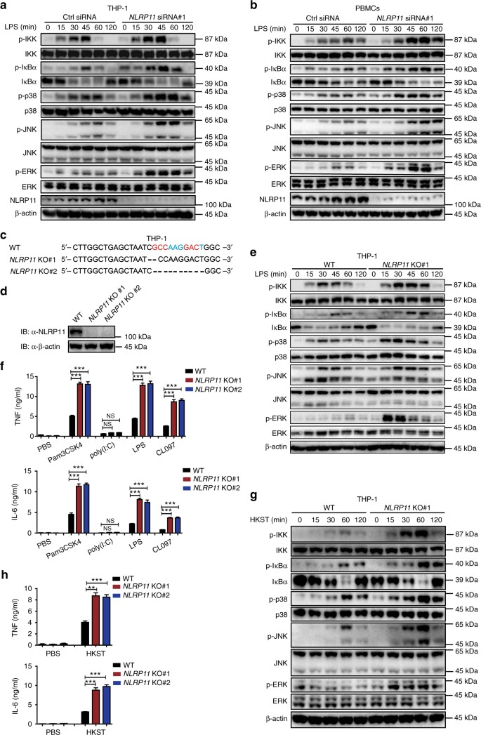NLRP11 attenuates Toll-like receptor signalling by targeting TRAF6