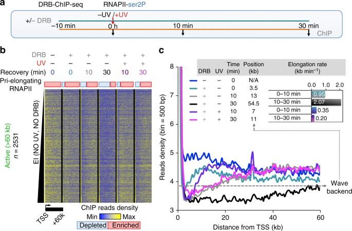 Global unleashing of transcription elongation waves in