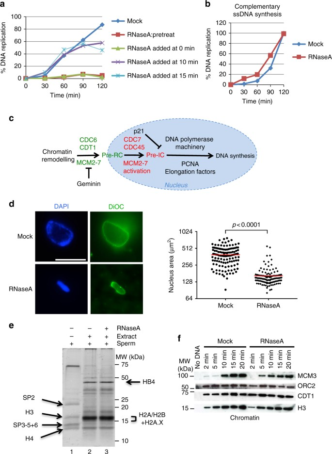 Rnas Coordinate Nuclear Envelope Assembly And Dna Replication Through Elys Recruitment To Chromatin Nature Communications