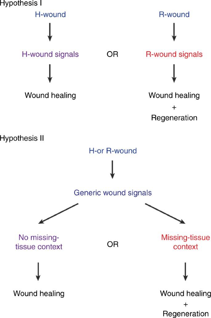 Generic wound signals initiate regeneration in missing