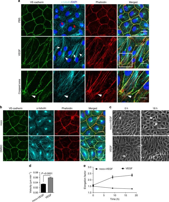 Polarized actin and VE-cadherin dynamics regulate junctional