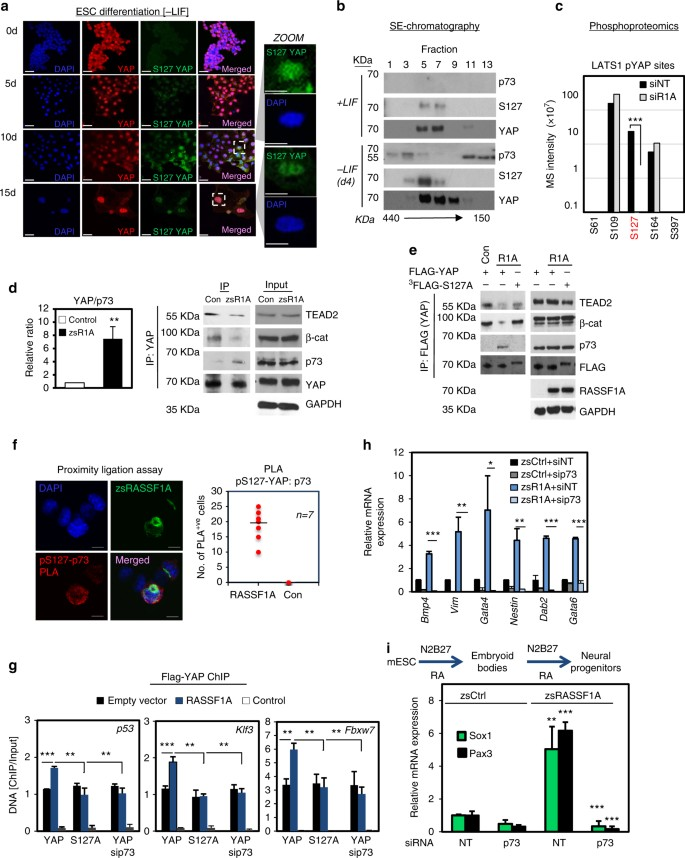 RASSF1A uncouples Wnt from Hippo signalling and promotes YAP