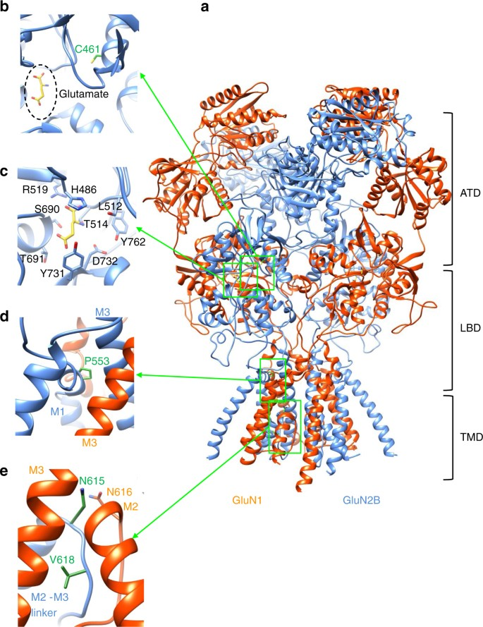 Disease Associated Missense Mutations In Glun2b Subunit Alter Nmda Receptor Ligand Binding And Ion Channel