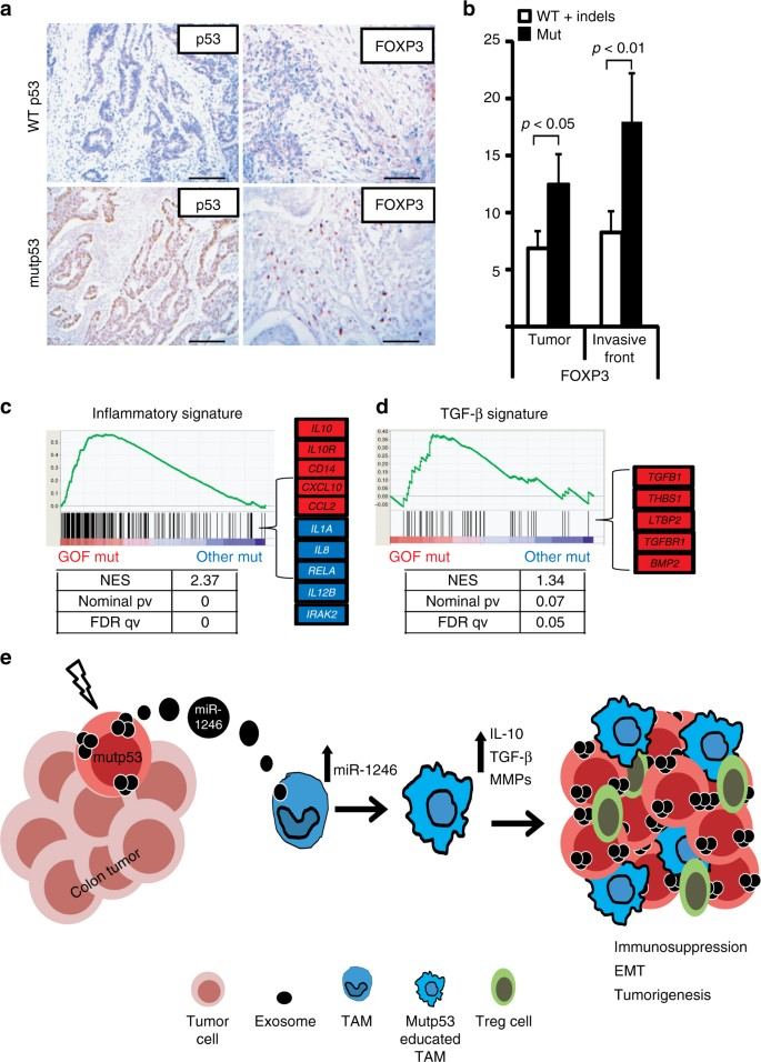 Mutant p53 cancers reprogram macrophages to tumor supporting