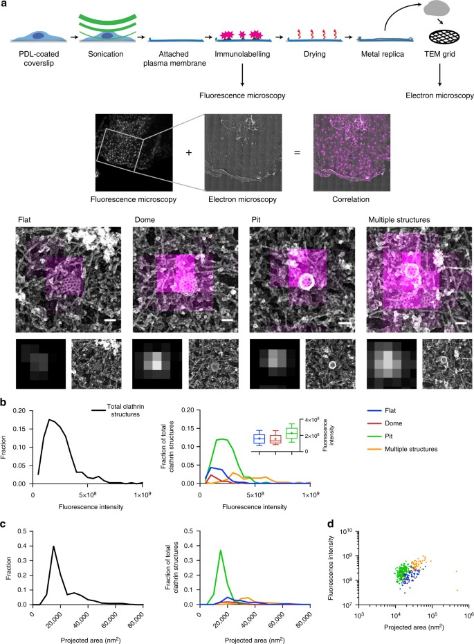 Clathrin-adaptor ratio and membrane tension regulate the flat-to
