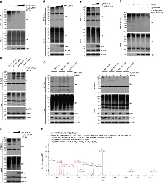 USP52 acts as a deubiquitinase and promotes histone