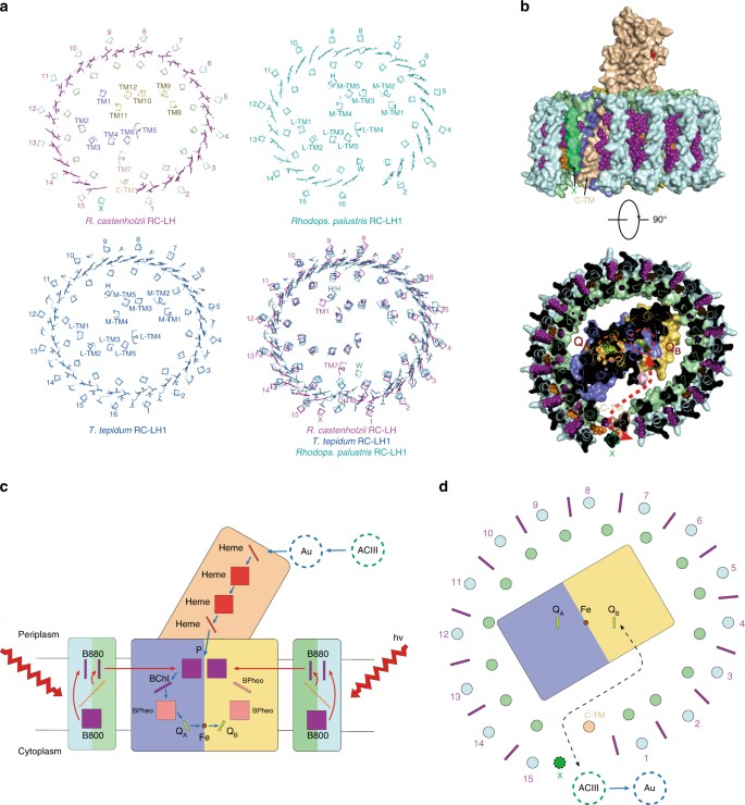 Cryo-EM structure of the RC-LH core complex from an early