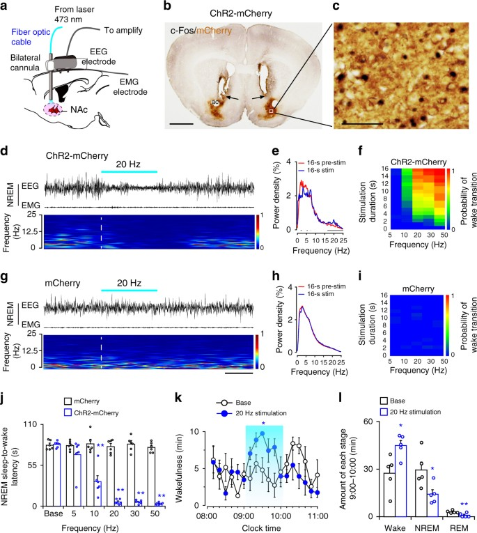 Nucleus accumbens controls wakefulness by a subpopulation of neurons