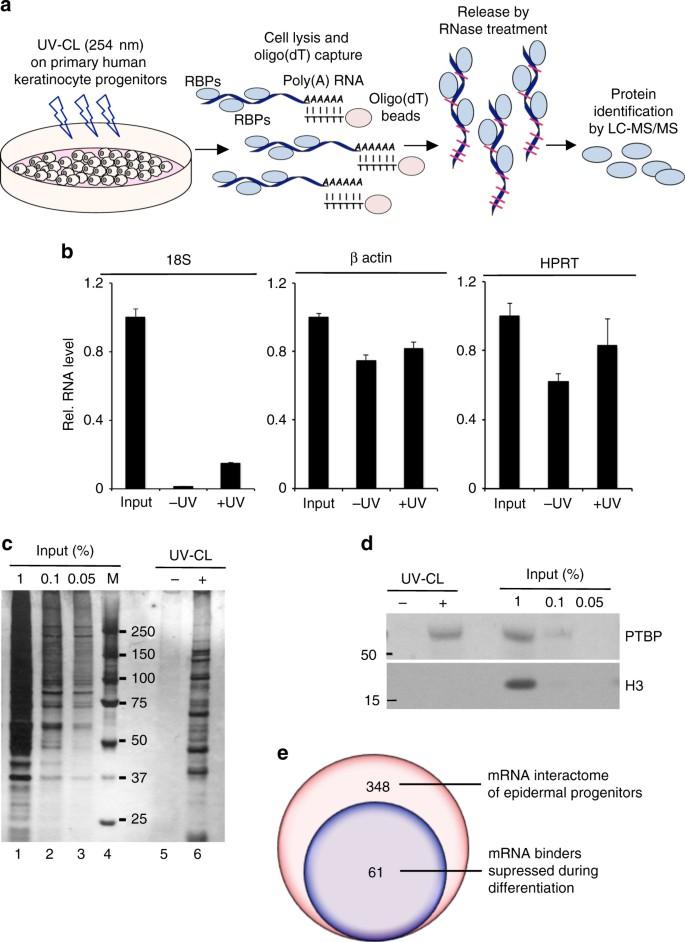 The RNA-binding protein YBX1 regulates epidermal progenitors