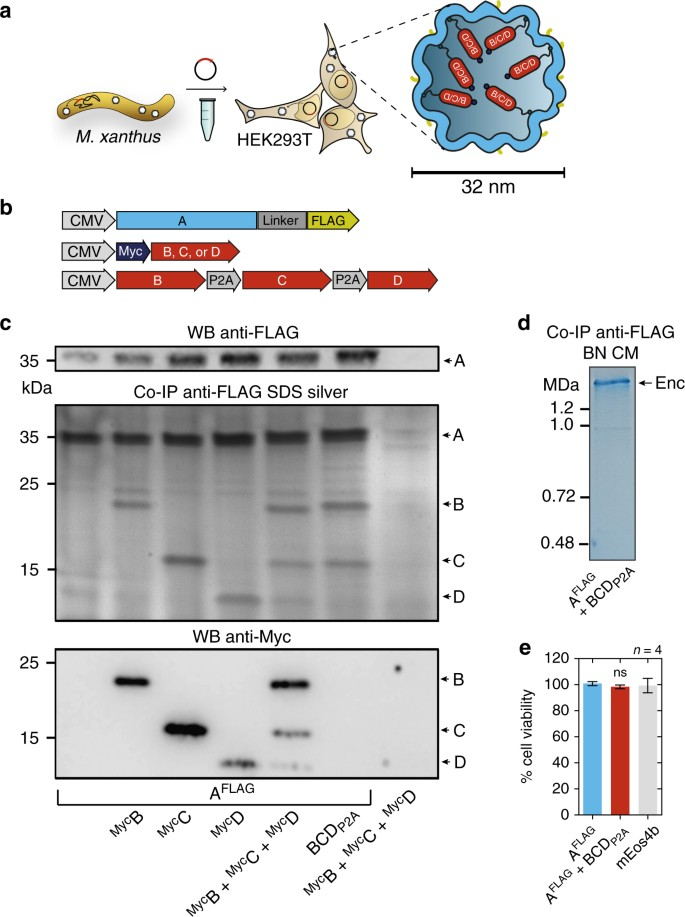 Bacterial encapsulins as orthogonal compartments for mammalian cell