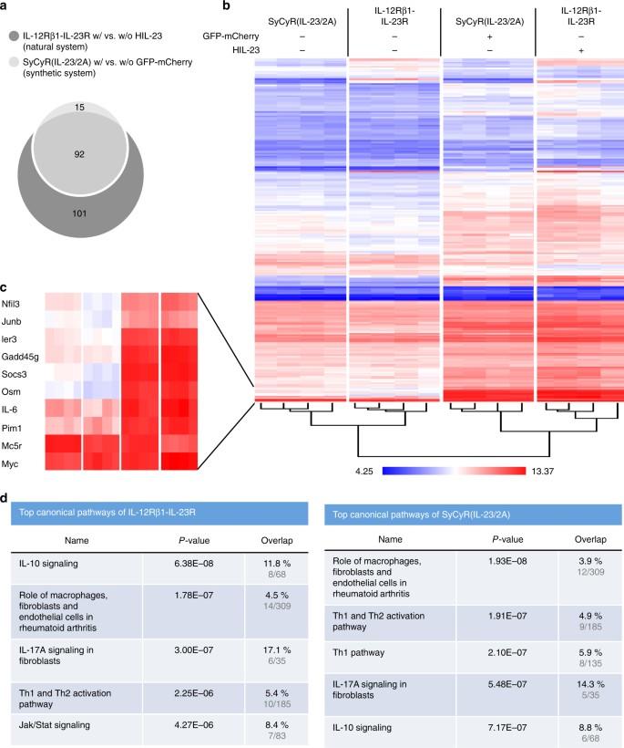 Synthetic cytokine receptors transmit biological signals