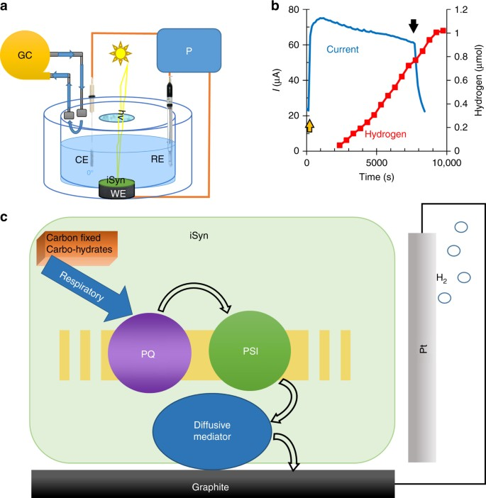 Live cyanobacteria produce photocurrent and hydrogen using both the