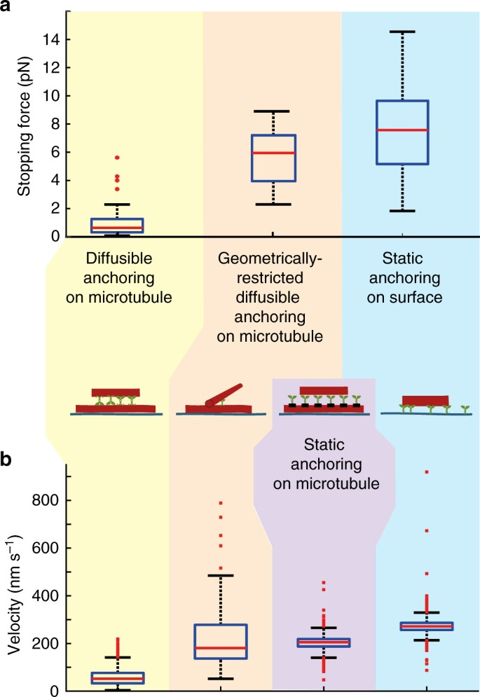 Diffusive tail anchorage determines velocity and force