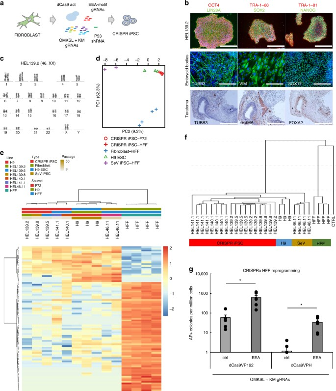 Human pluripotent reprogramming with CRISPR activators | Nature