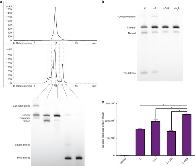 Engineering circular RNA for potent and stable translation in
