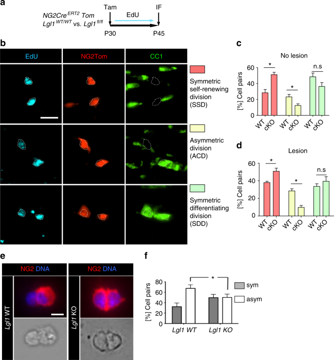 Lgl1 controls NG2 endocytic pathway to regulate oligodendrocyte