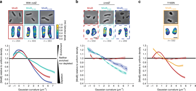 MreB polymers and curvature localization are enhanced by RodZ and