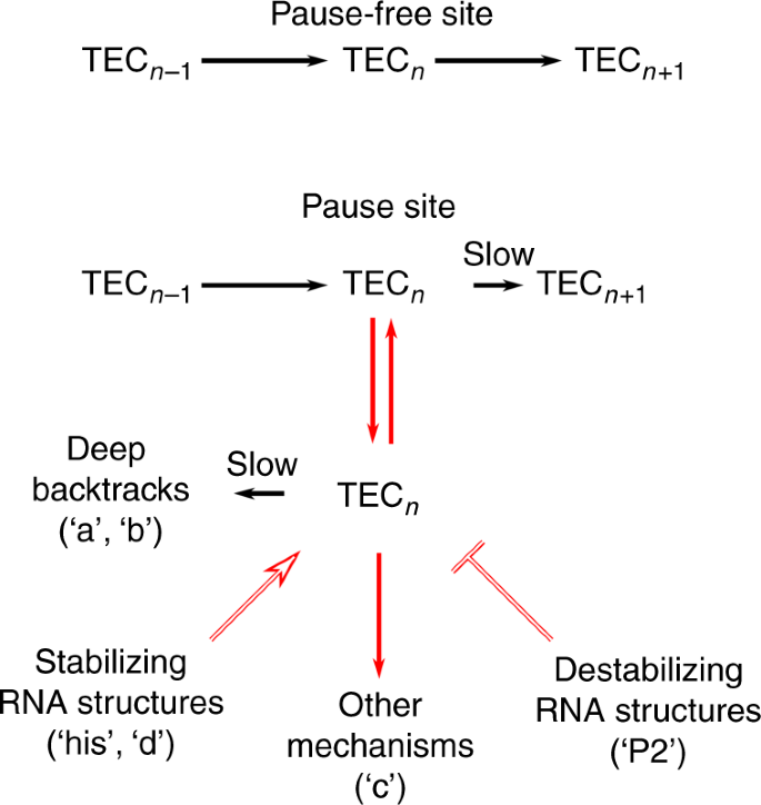 Pause sequences facilitate entry into long-lived paused